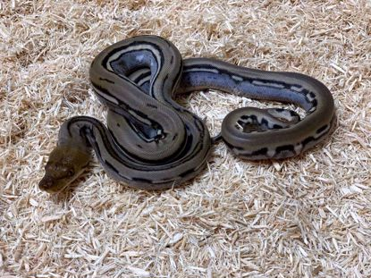 Picture of Female Dwarf Genetic Stripe Reticulated Python