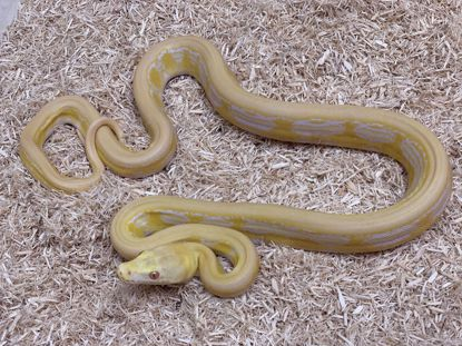 Picture of Male White Albino Super Tiger Reticulated Python
